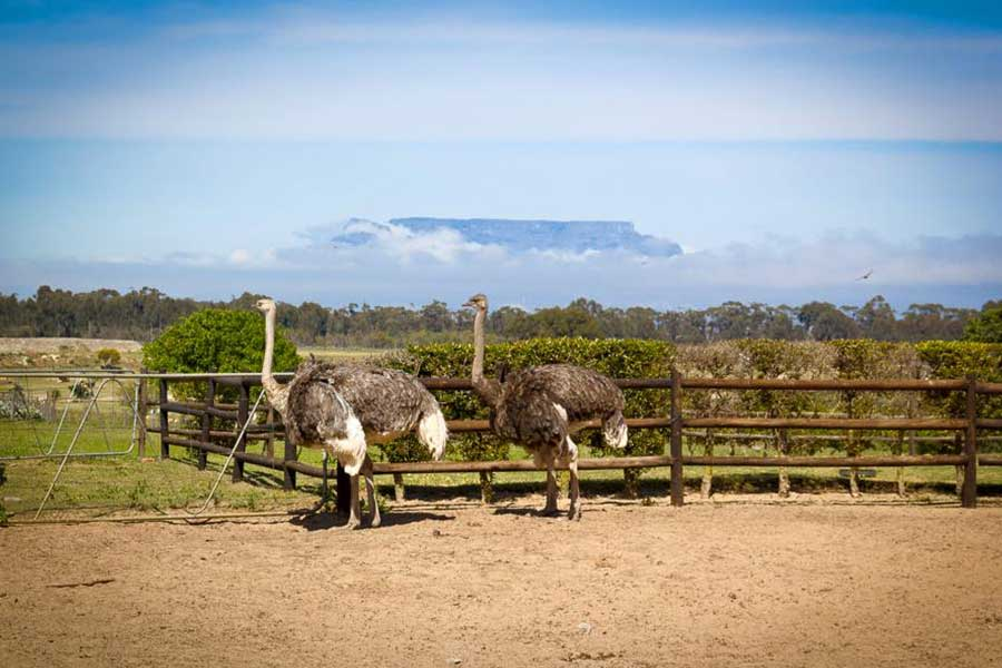 Cape-Town-Ostrich-Ranch-3